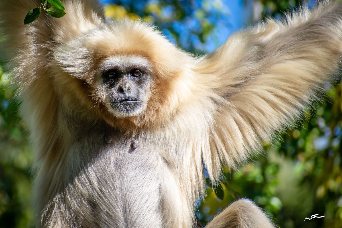 White gibbon hanging in the trees