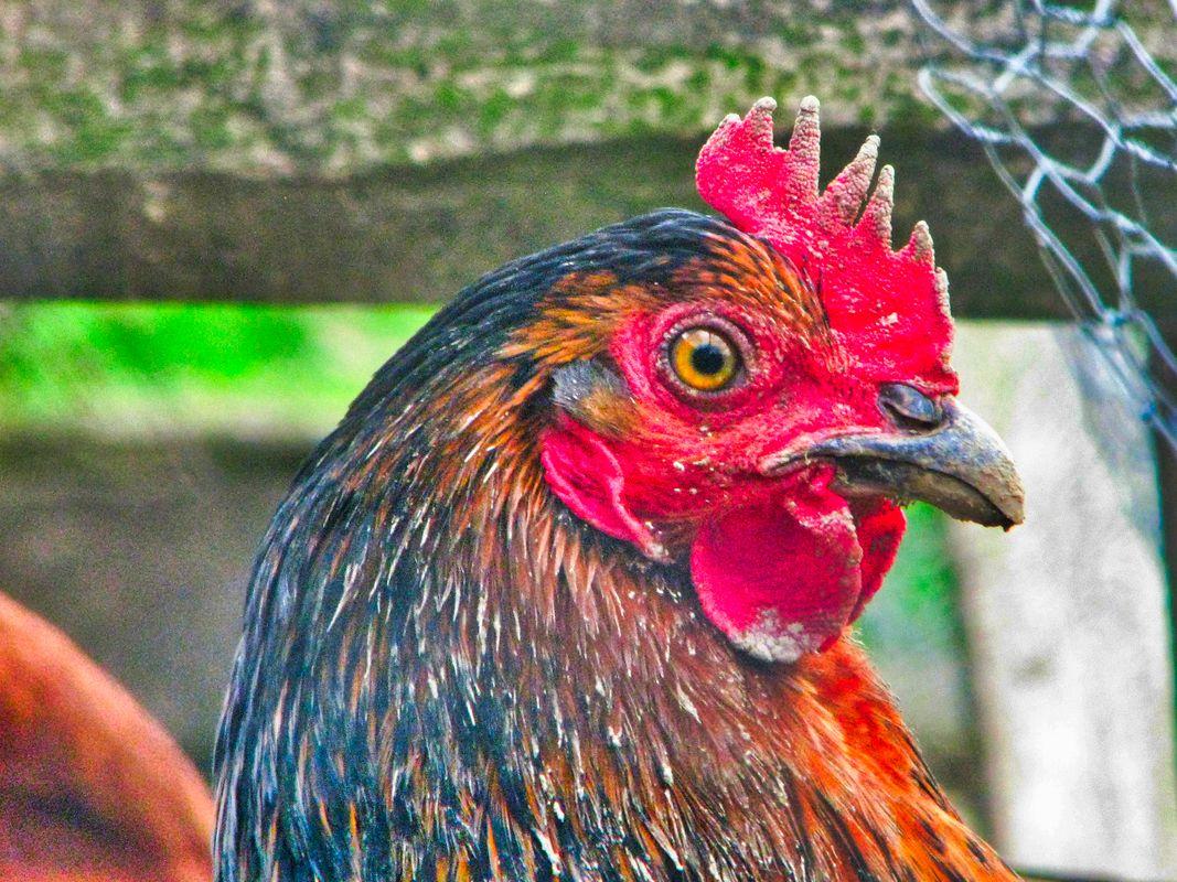 Chicken 3-12-20 (4)