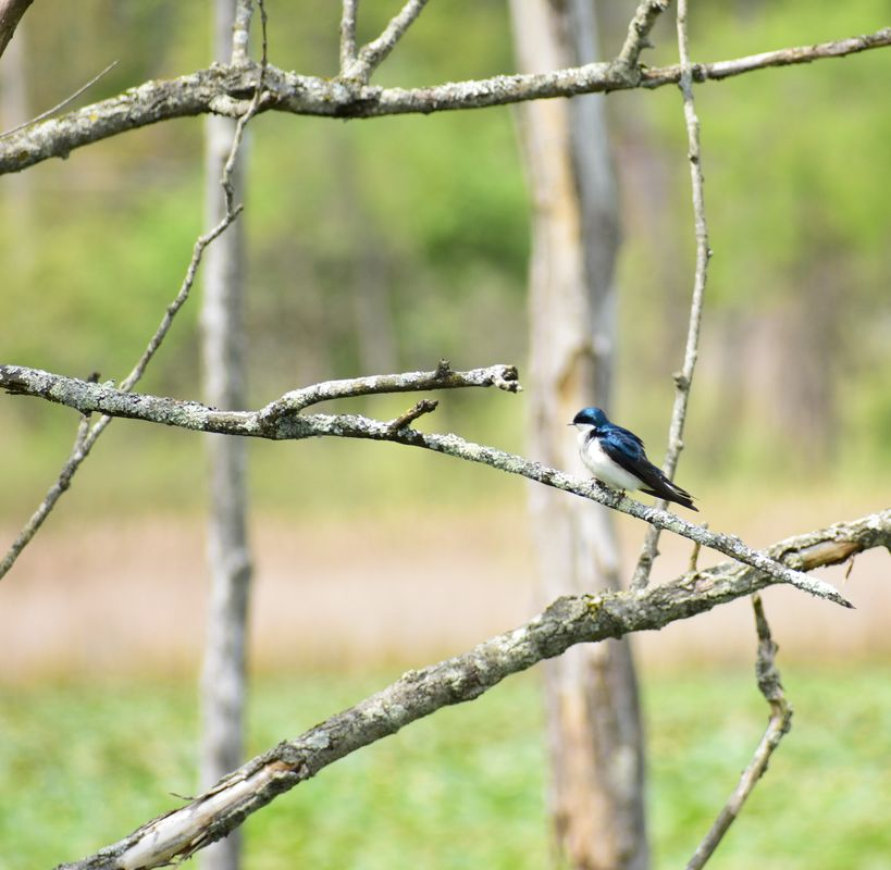 Tree swallow at a marsh 001