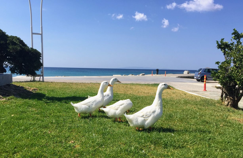 Ducks of Karistos...