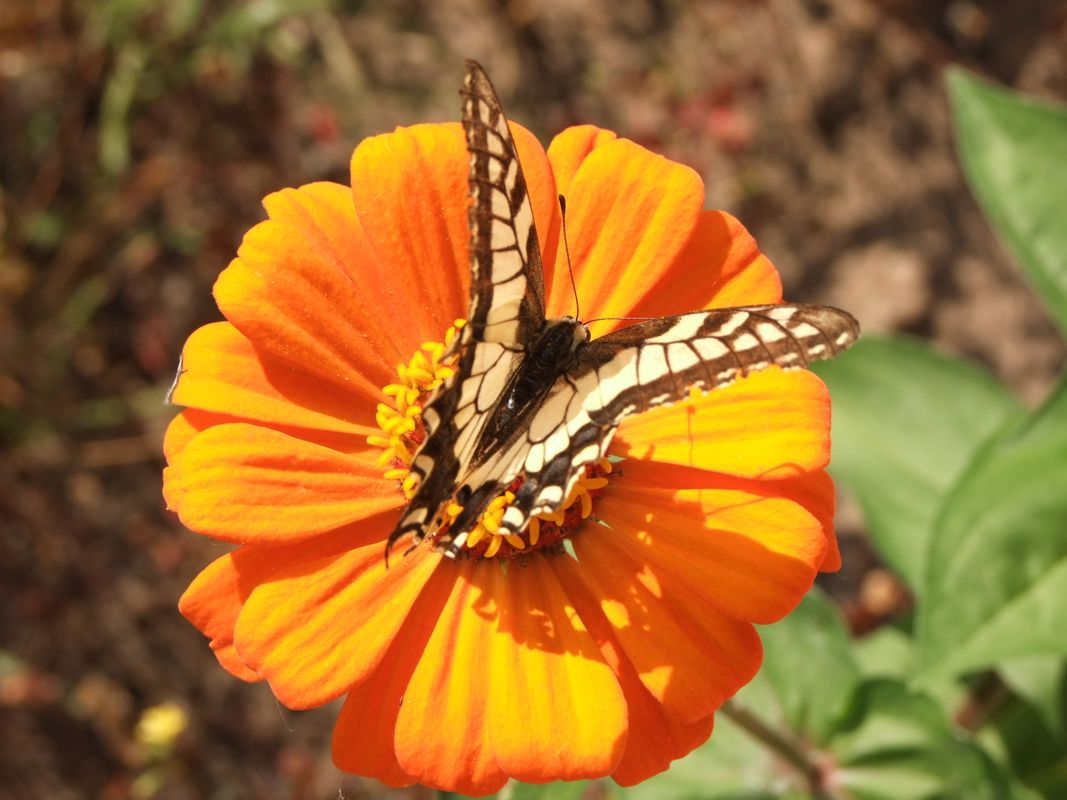 Swallowtail on Zinnia flower