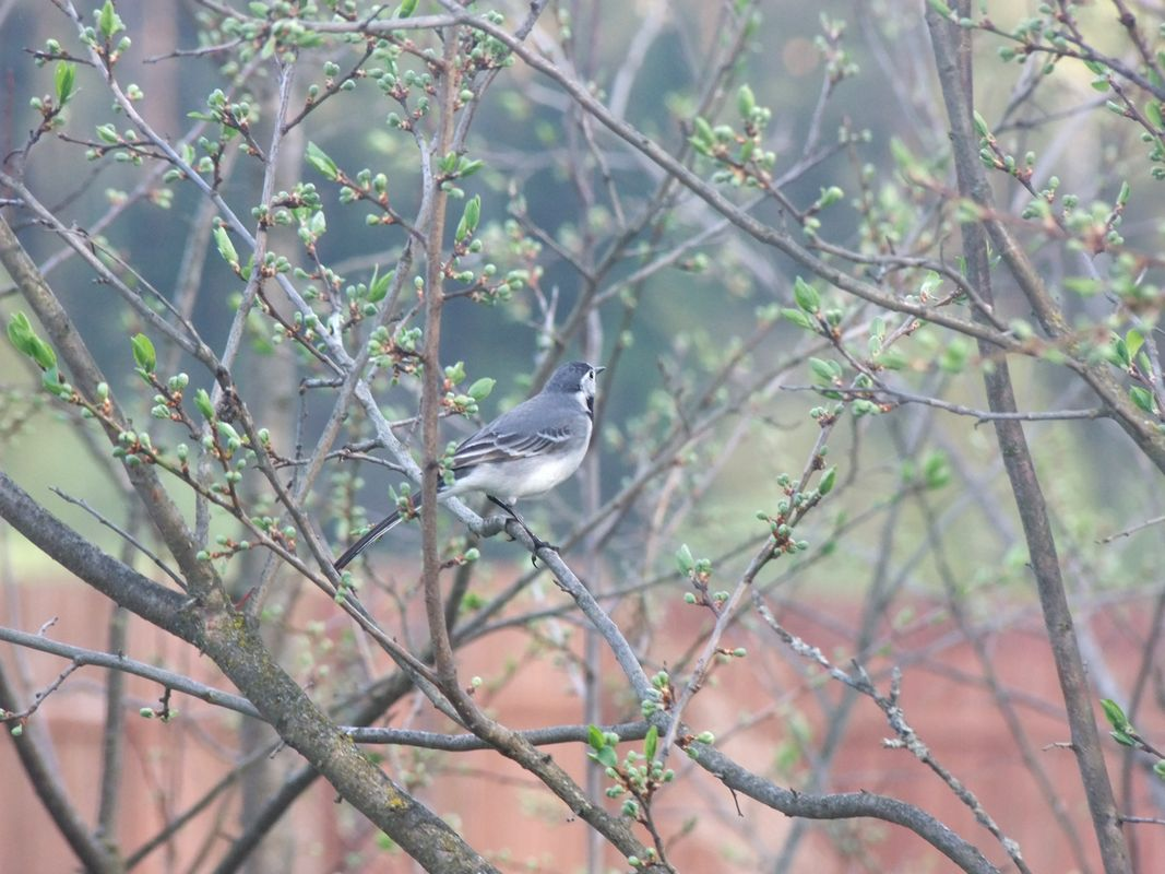 Wagtail perched on the tree branch