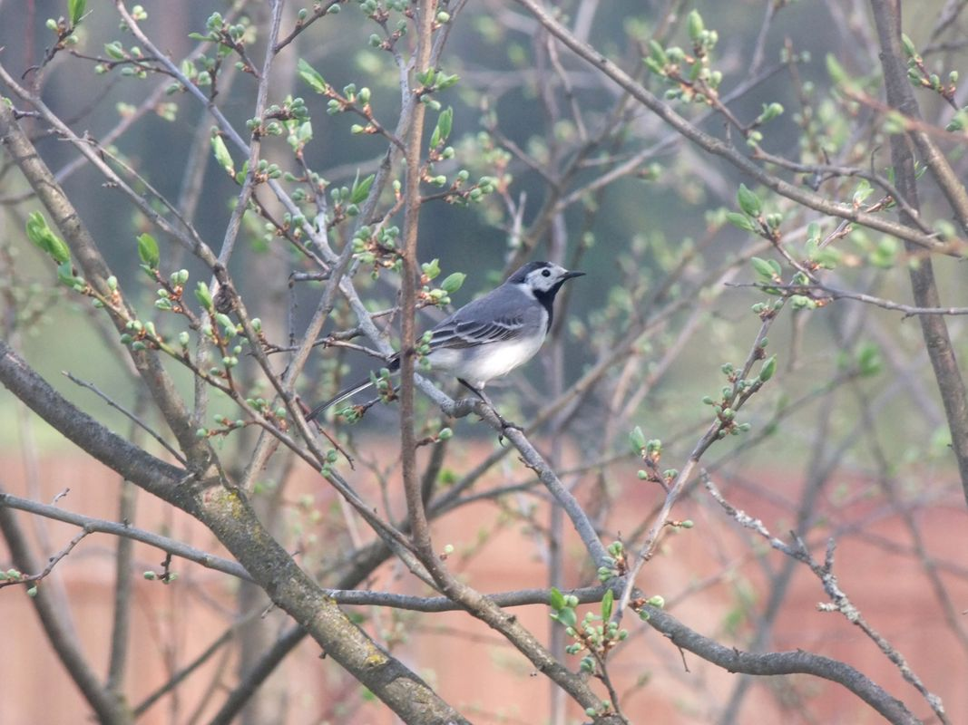 Wagtail on the tree branch