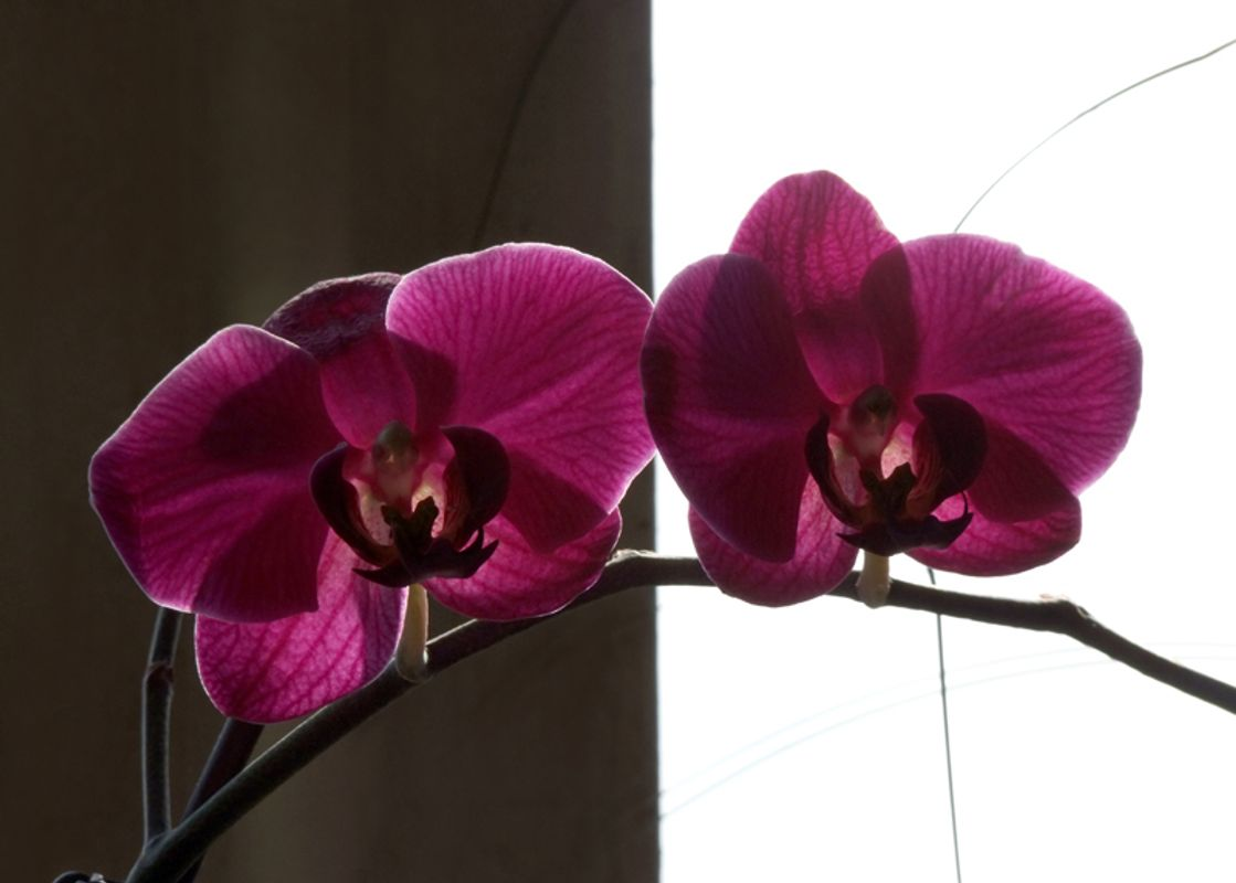 Purple orchid - two flowers on black and white background