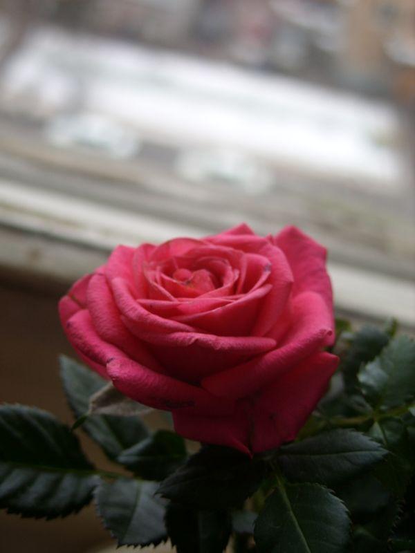 Rose on the window