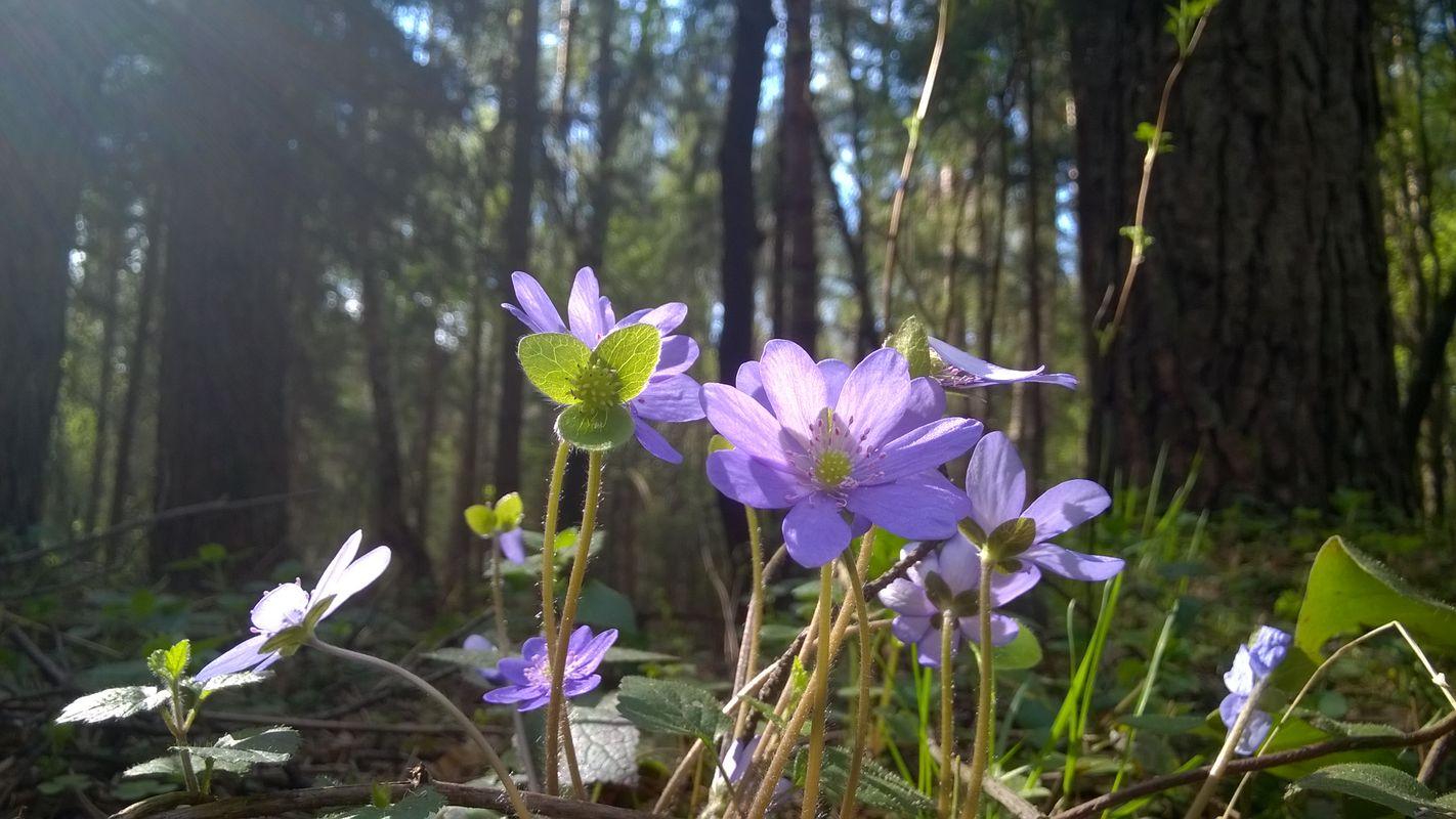Hepatica nobilis, spring flower