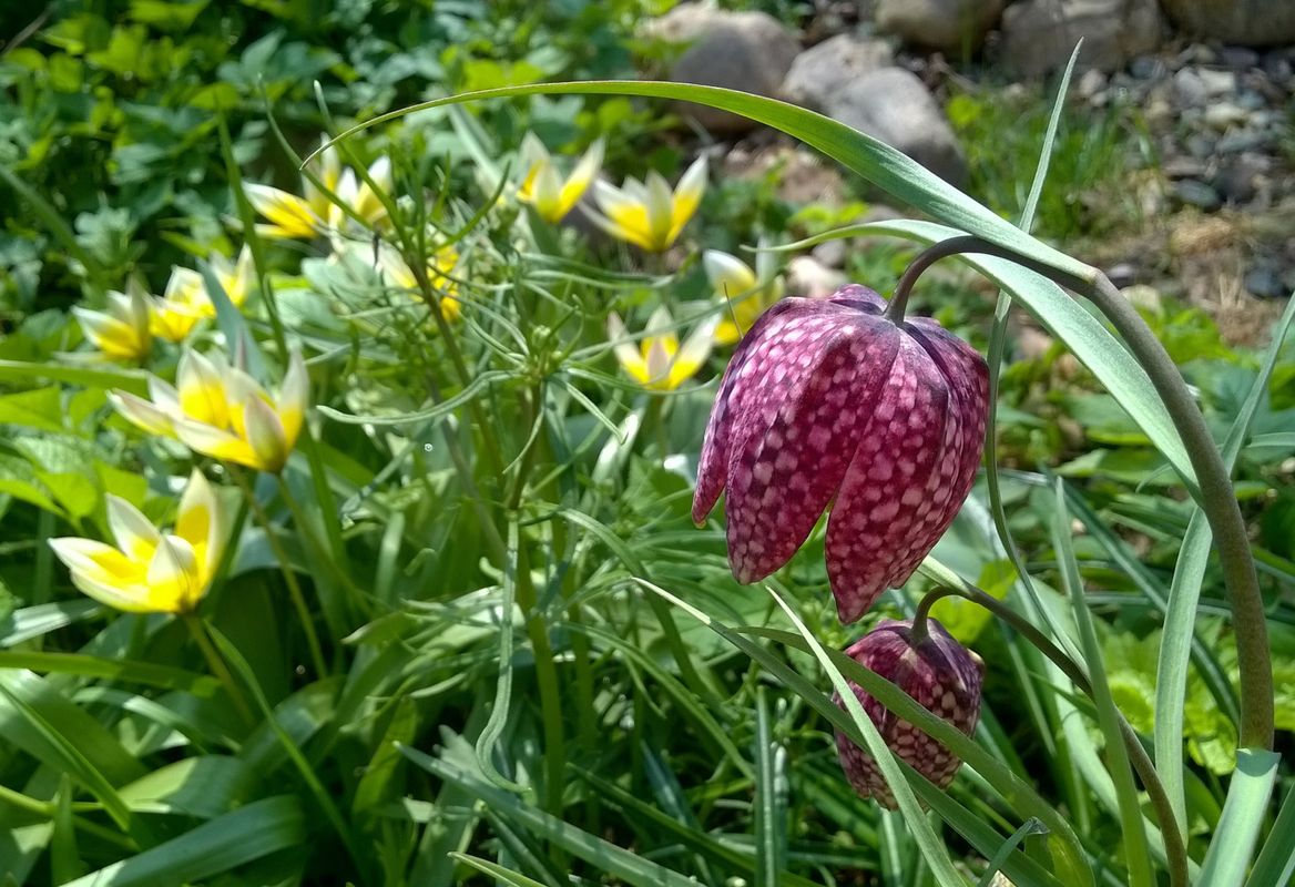 Fritillaria meleagris and other flowers