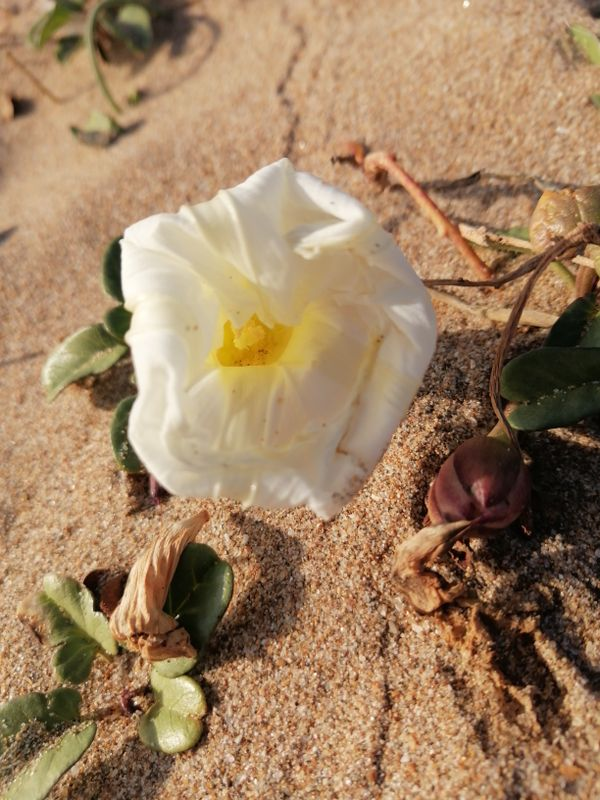 Sand flower