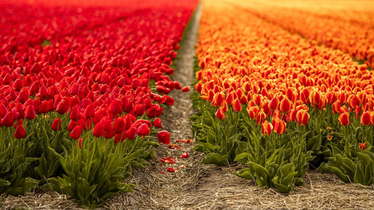 Mixed Tulip