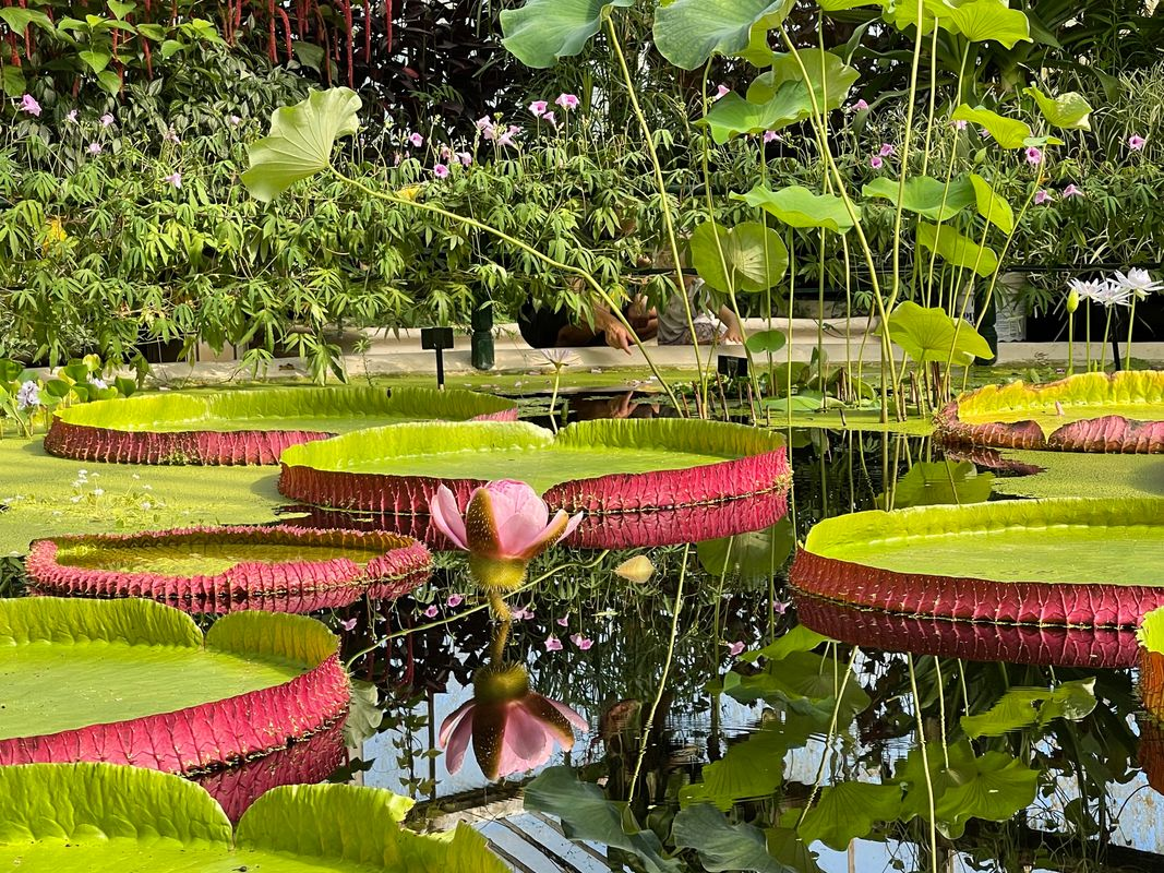 Kew Gardens Uk Waterlily Room  Giant Lilly Pads and a favourite Lotus flower ..