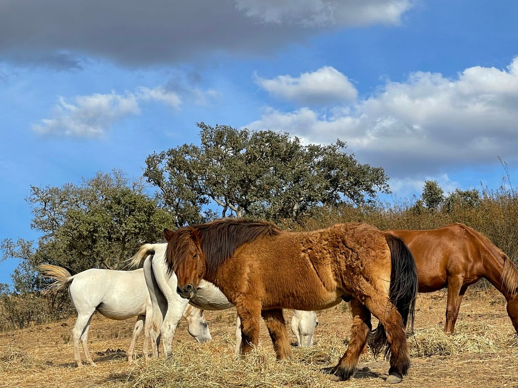 The friendly horse from Finland in Portugal