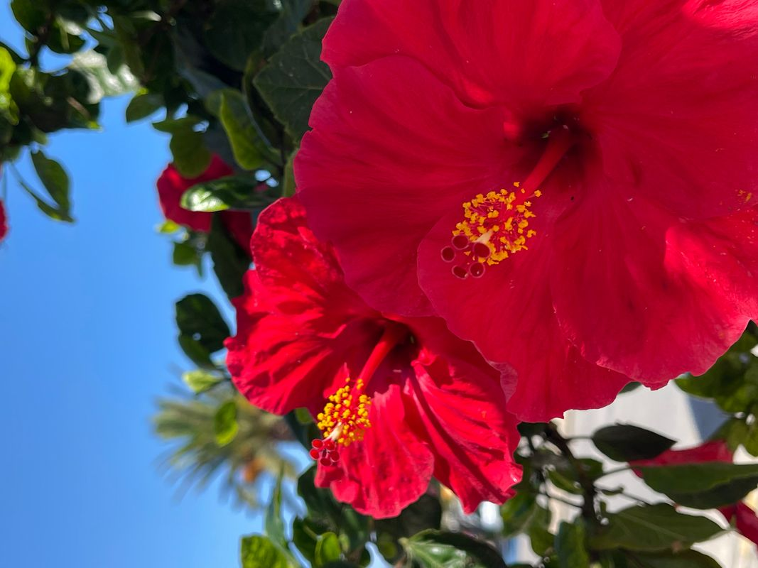 Red Chinease Hibiscus blooms Portugal .