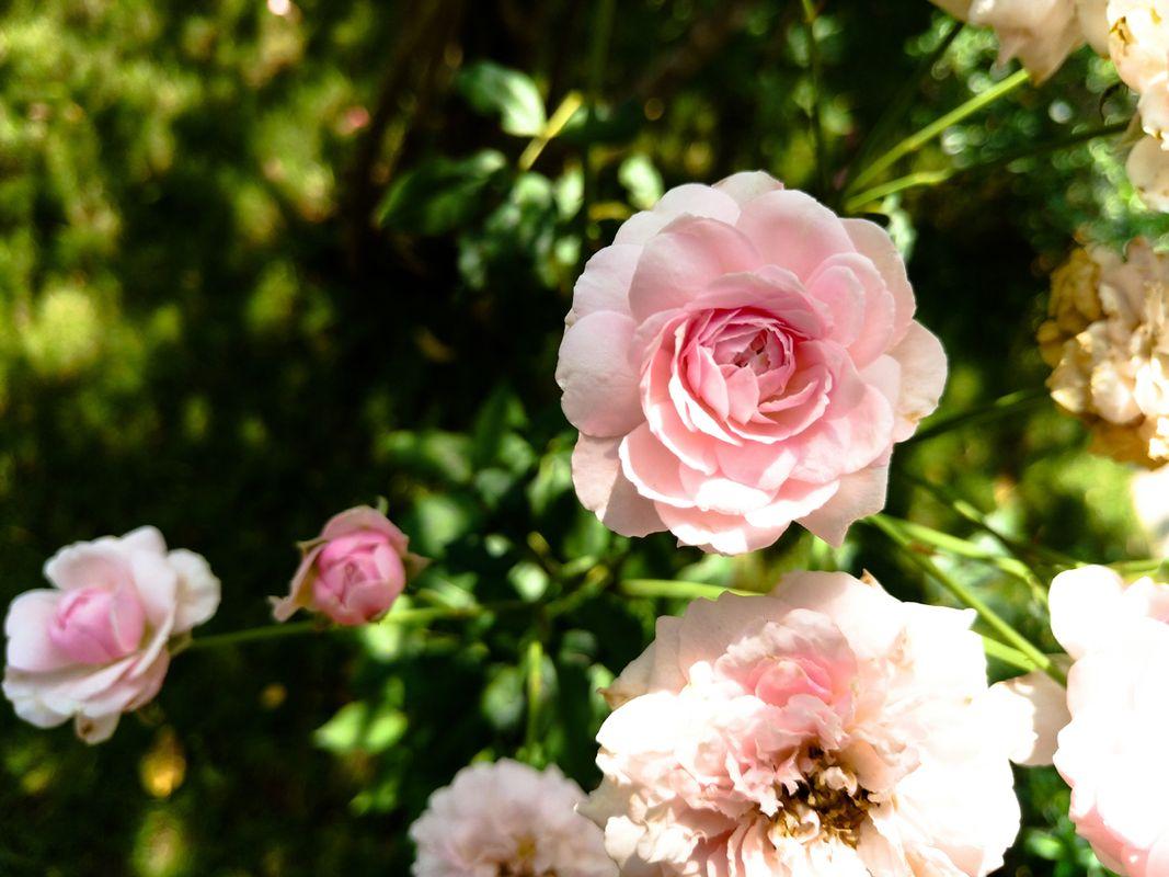 Rose Flower A Symbol Of Love