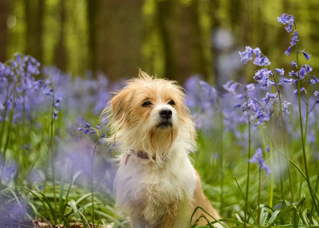 Dog in bluebells