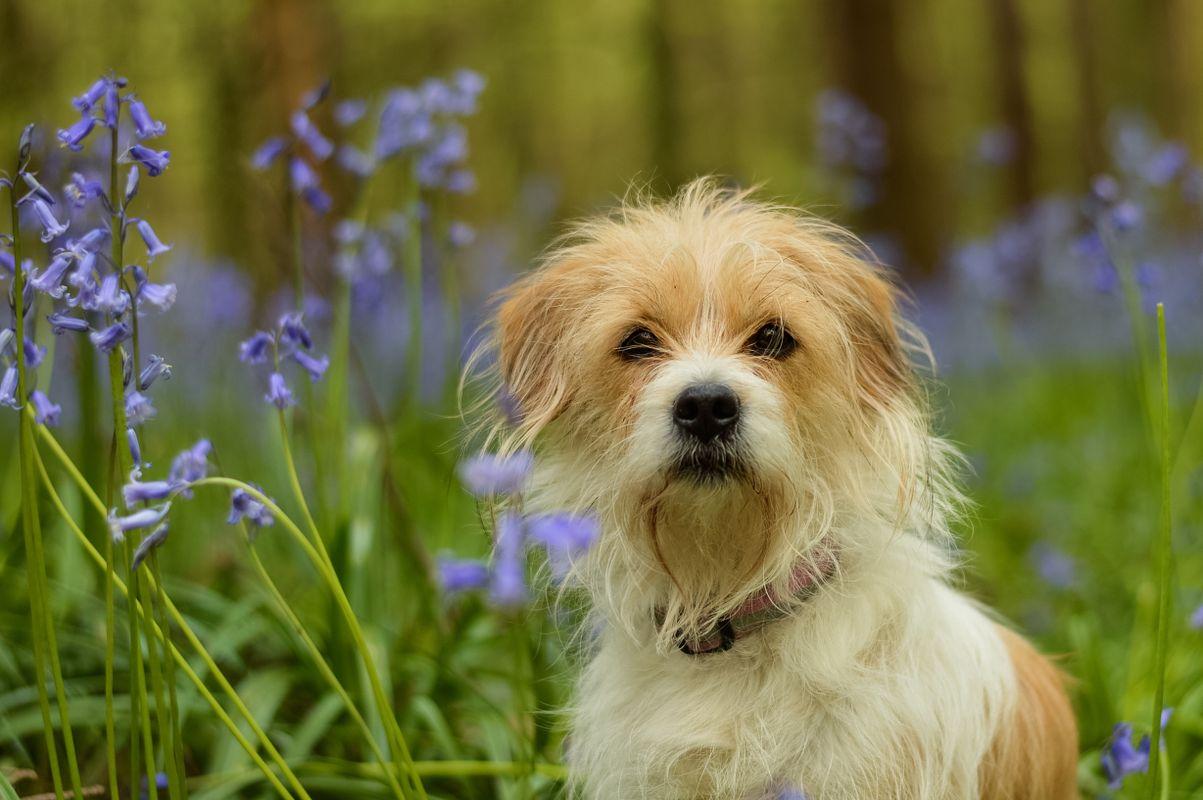 Bluebell dog