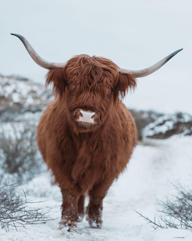 Scottish Highlander in the snow 8