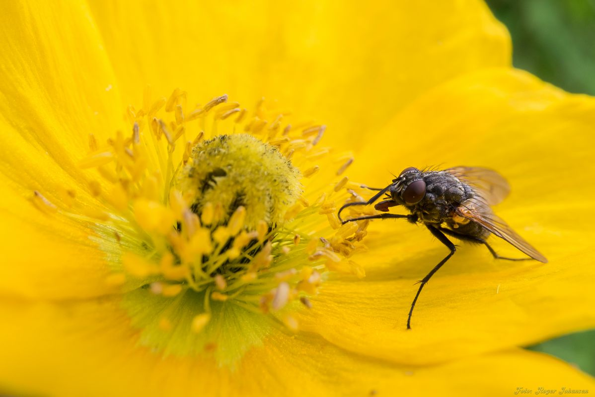 A fly at a yellow flower