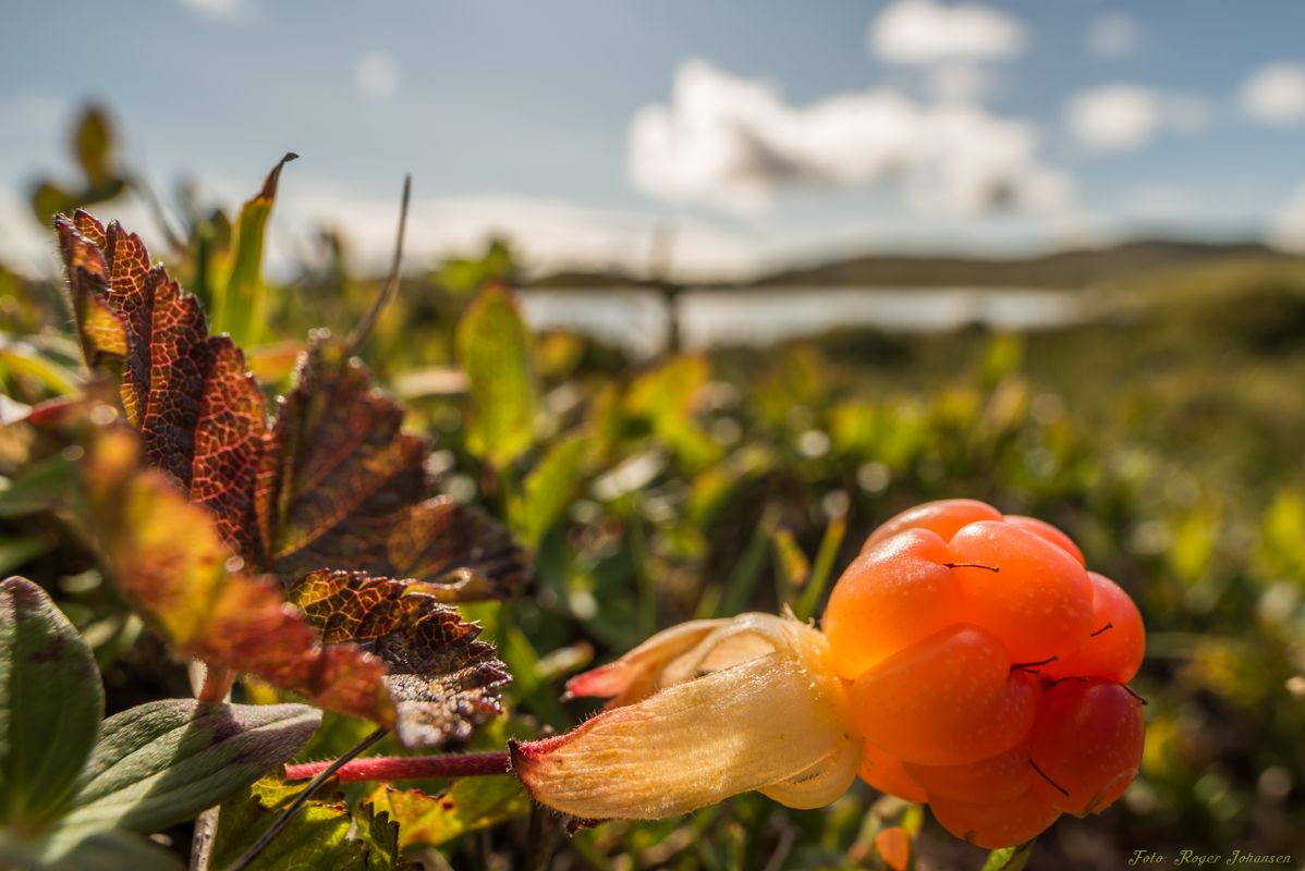 Cloudberry in it natural environment