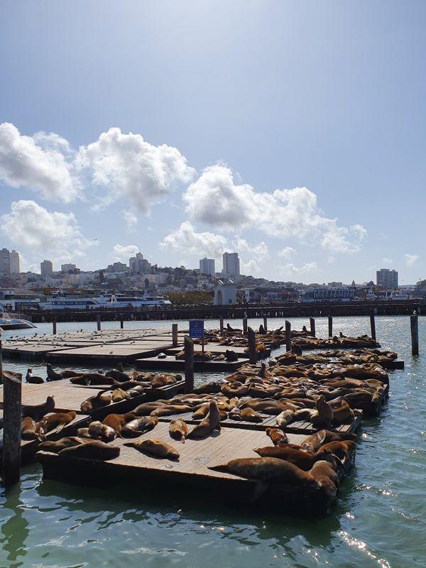 39 PIER SAN FRANCISCO SEA LIONS