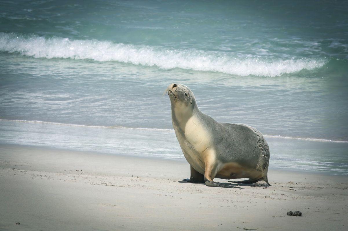 Baby seal seal coast sea ocean .