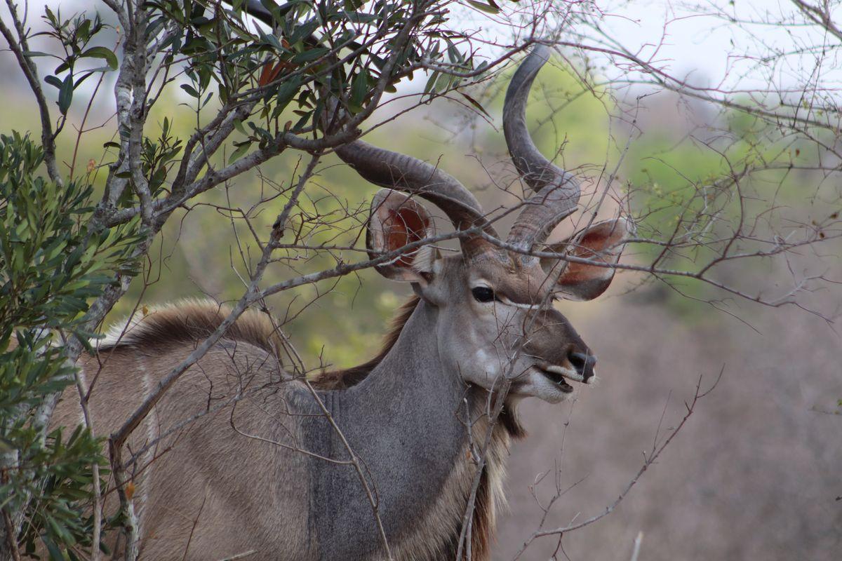 Bushbuck animal safari.