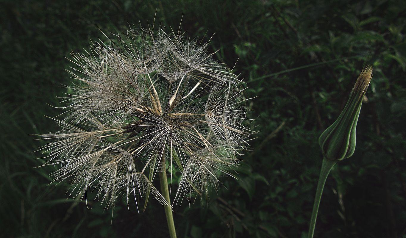 Flower dandelion wildflower seeds.