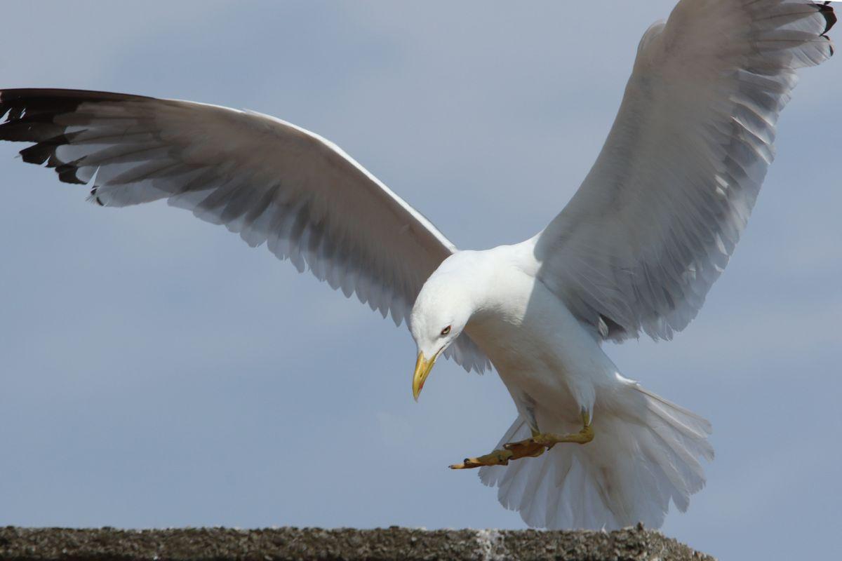 Seagull bird animal gull seabird.