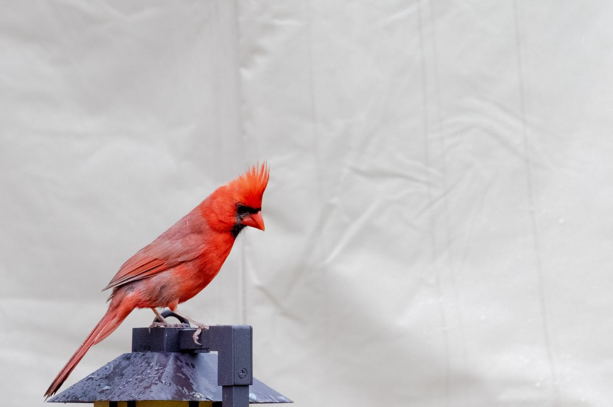 Northern Cardinal in my backyard after a rain