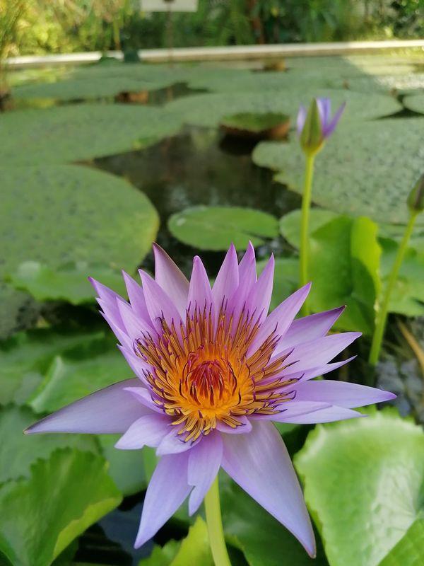 Ninfea a fiore viola