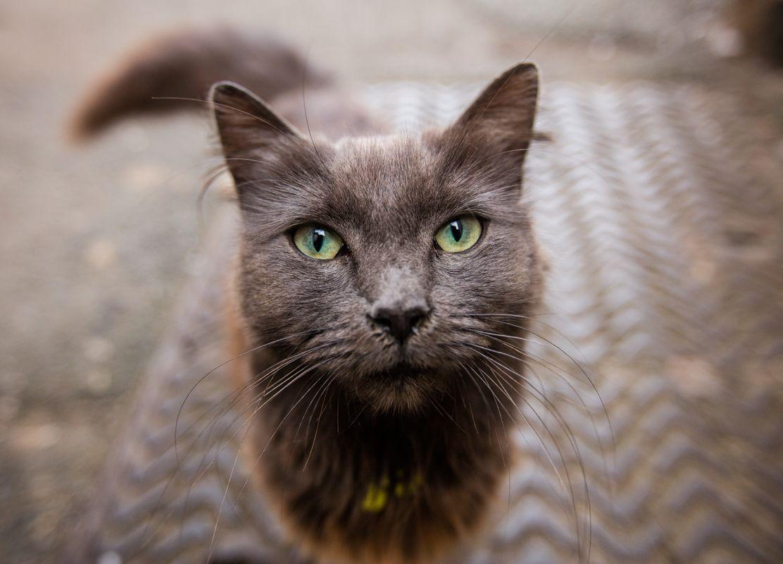 Cornish Cat