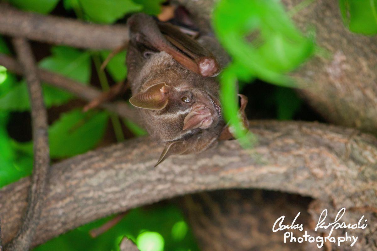 Artibeus jamaicensis in rest