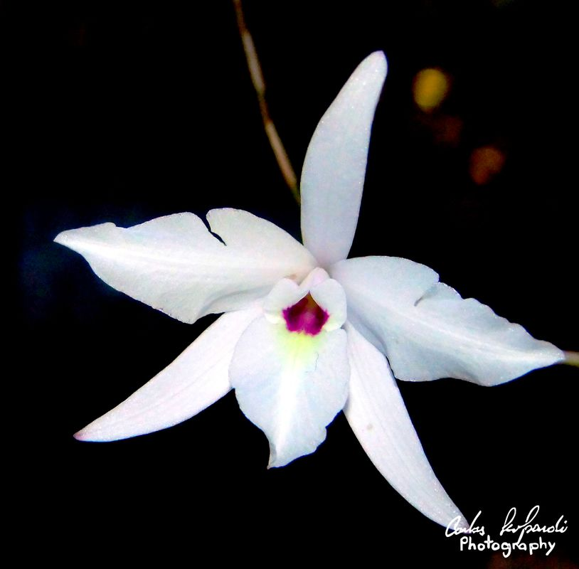 Isolated flower of Laelia rubescens