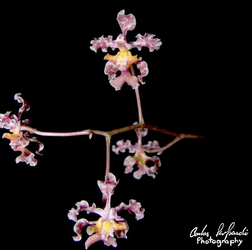 Lophiaris flowers in black