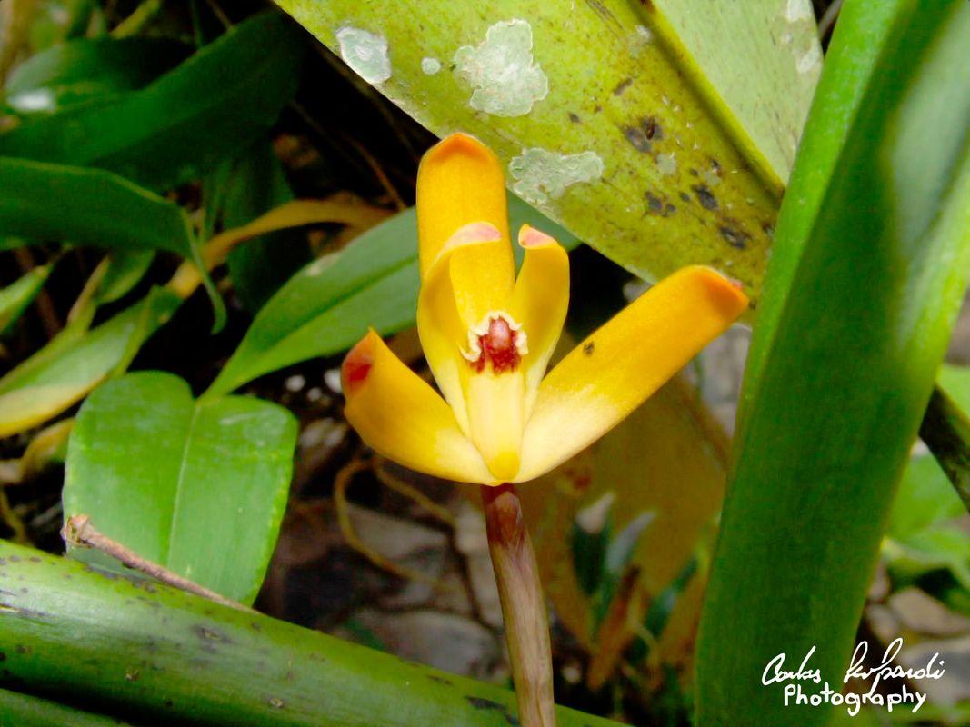 Maxillaria porrecta