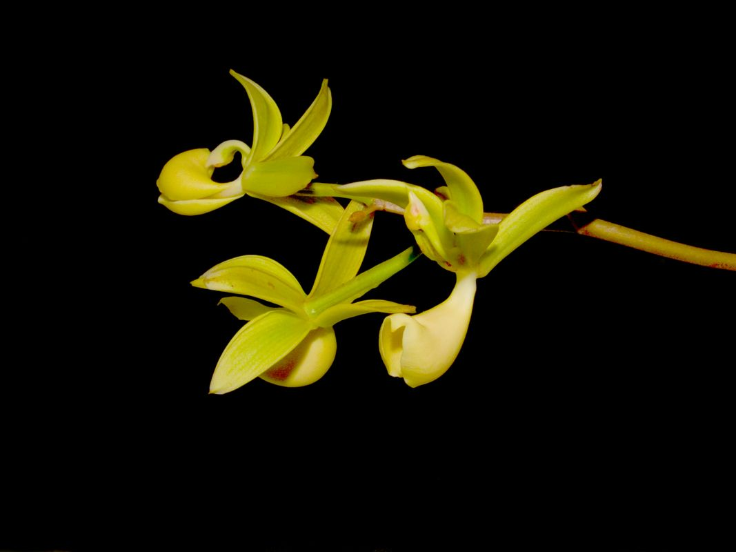 Mormodes buccinator, an American orchid.