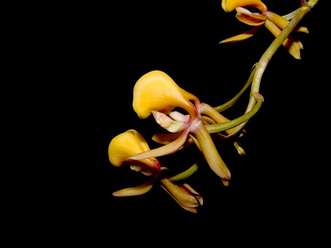 Mormodes carnevaliana, an orchid of Venezuela and Brasil