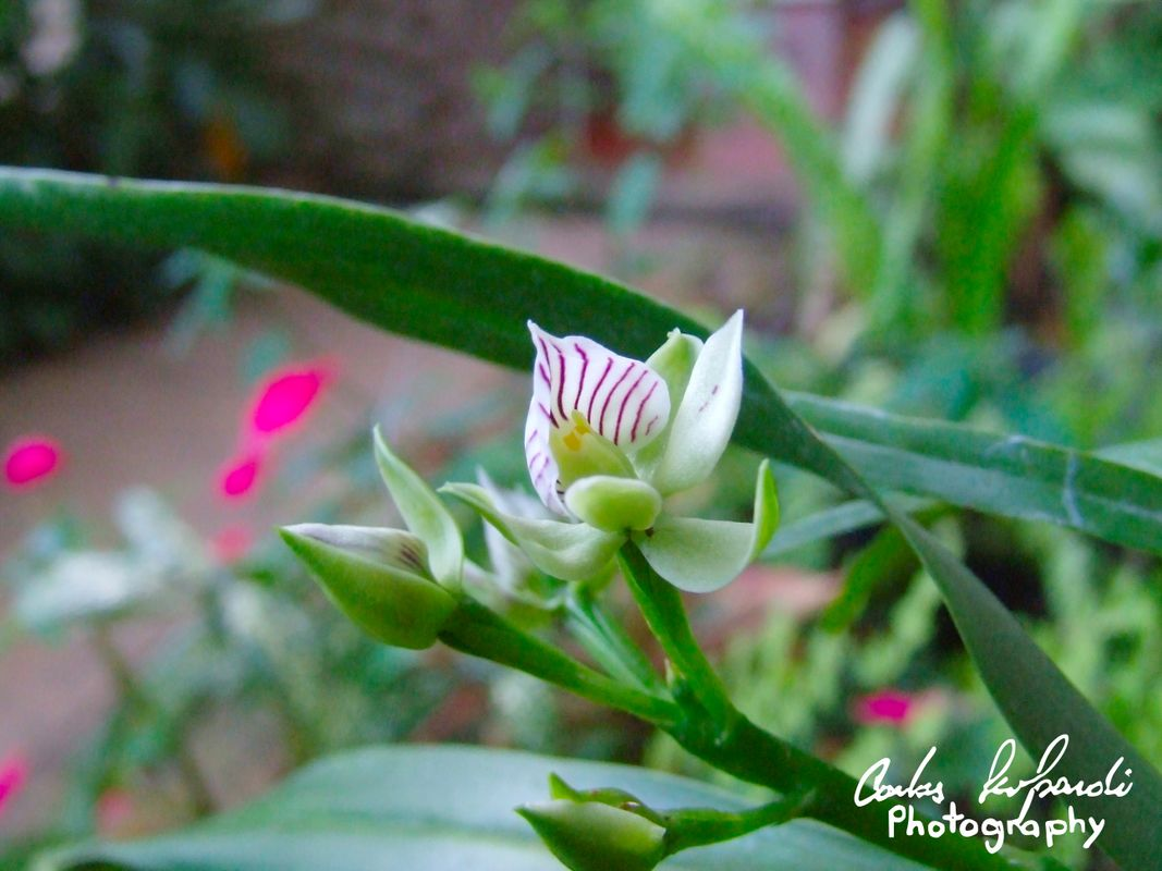 A flower of Prothechea chacaoensis