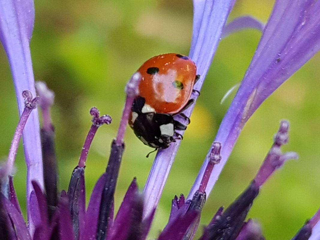Ladybug Crawling on a Purple Corn Flower