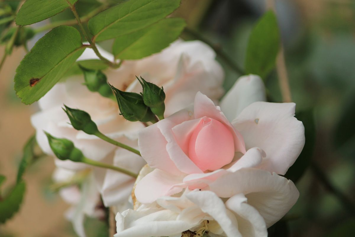 Soft Pink New Dawn Roses