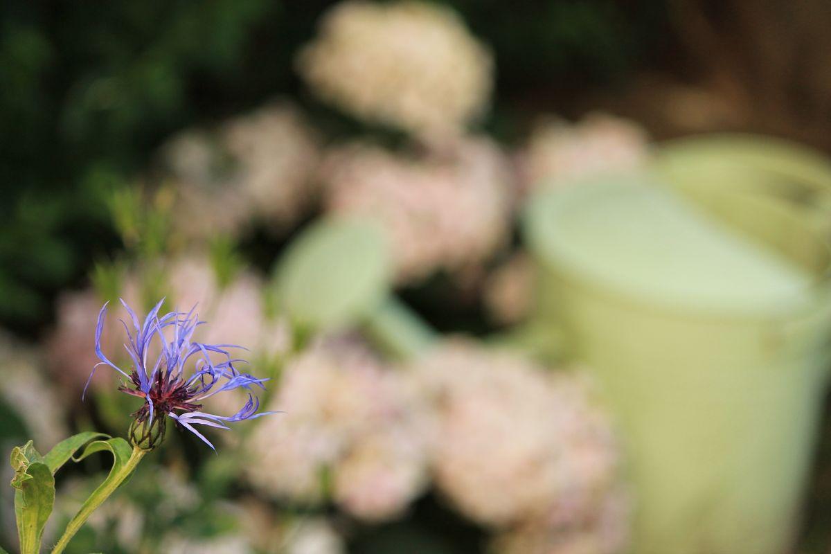 Simple Living - Purple Corn Flower