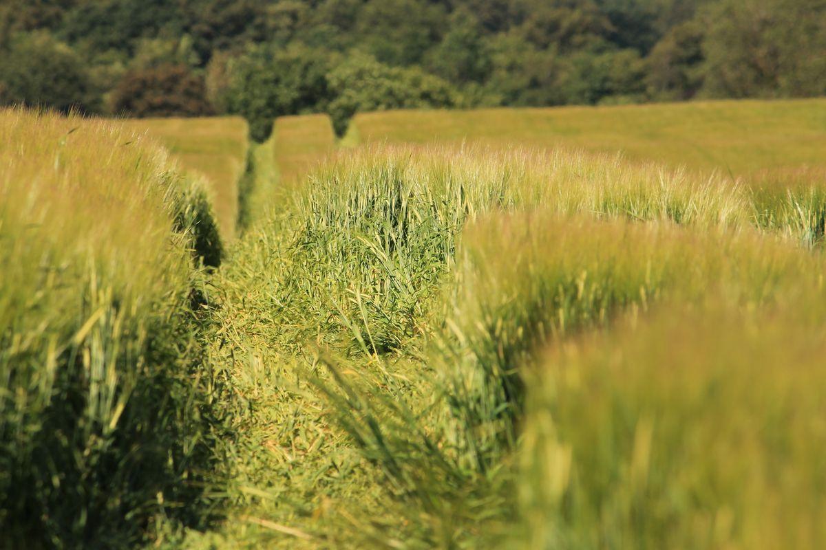 Tracks in Colourful Corn Field