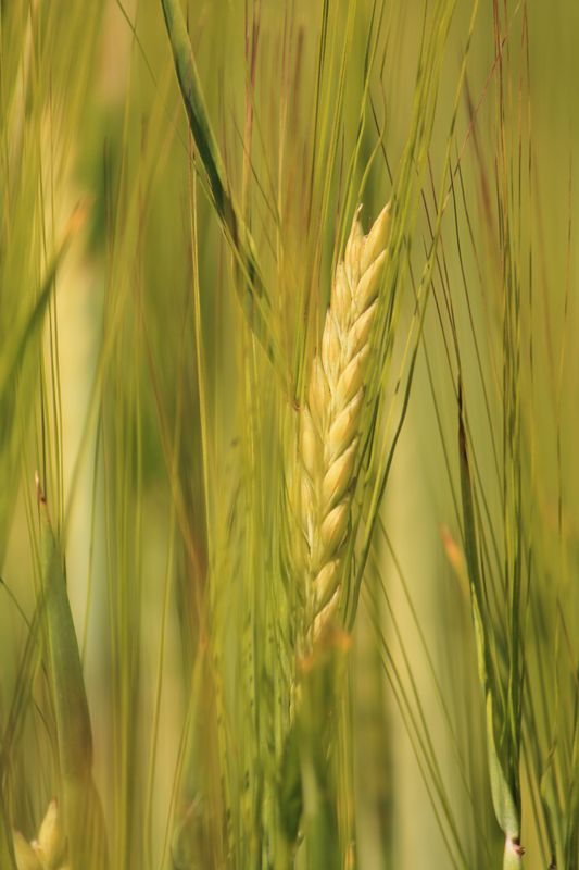 Corn Standing High