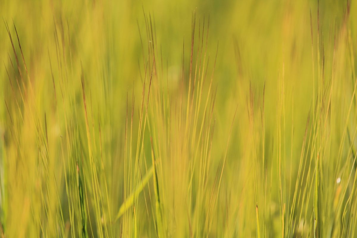 Corn Swaying in the Wind