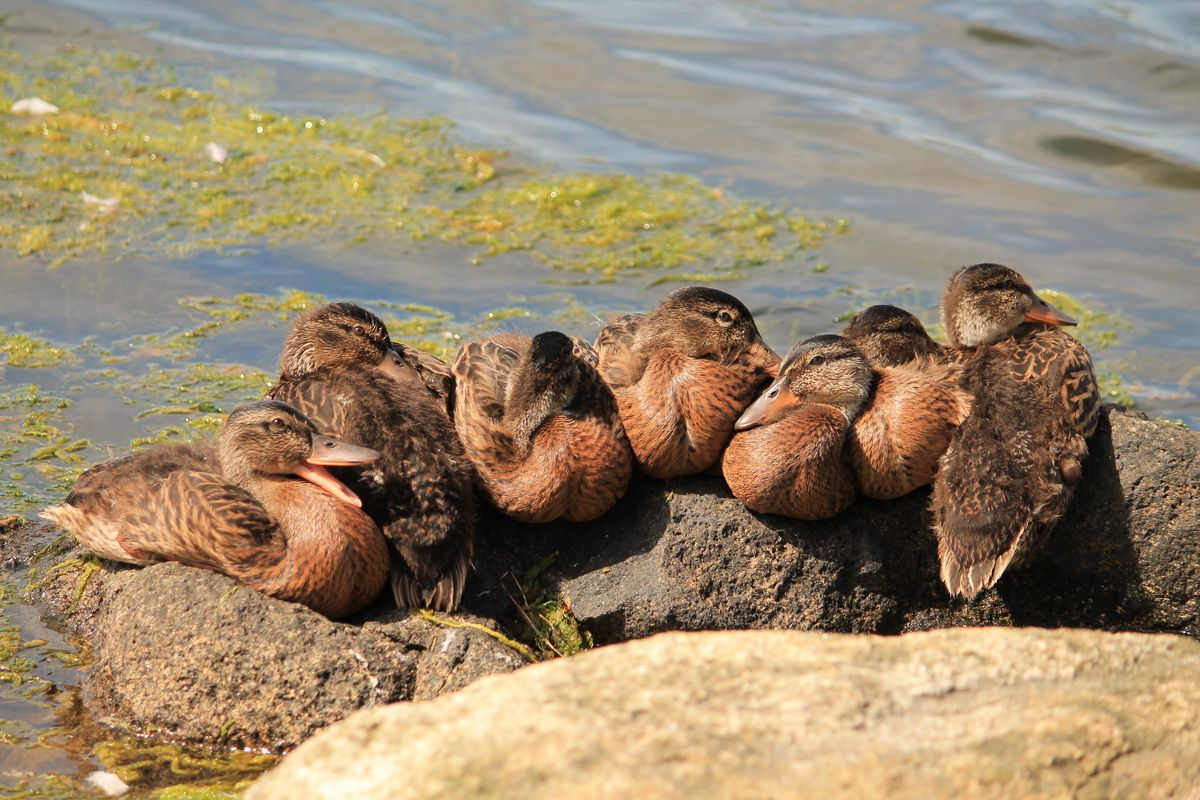 Ducklings Napping