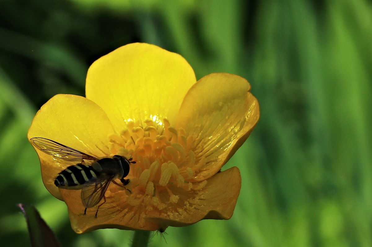 Hoverfly on a Buttercup