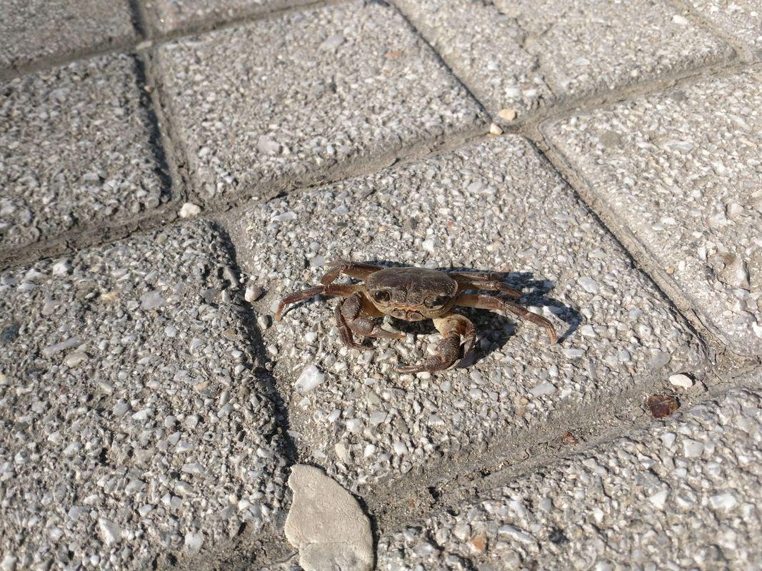Crab :)