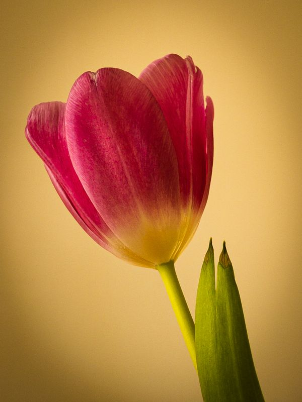 Study of a tulip 0158-2