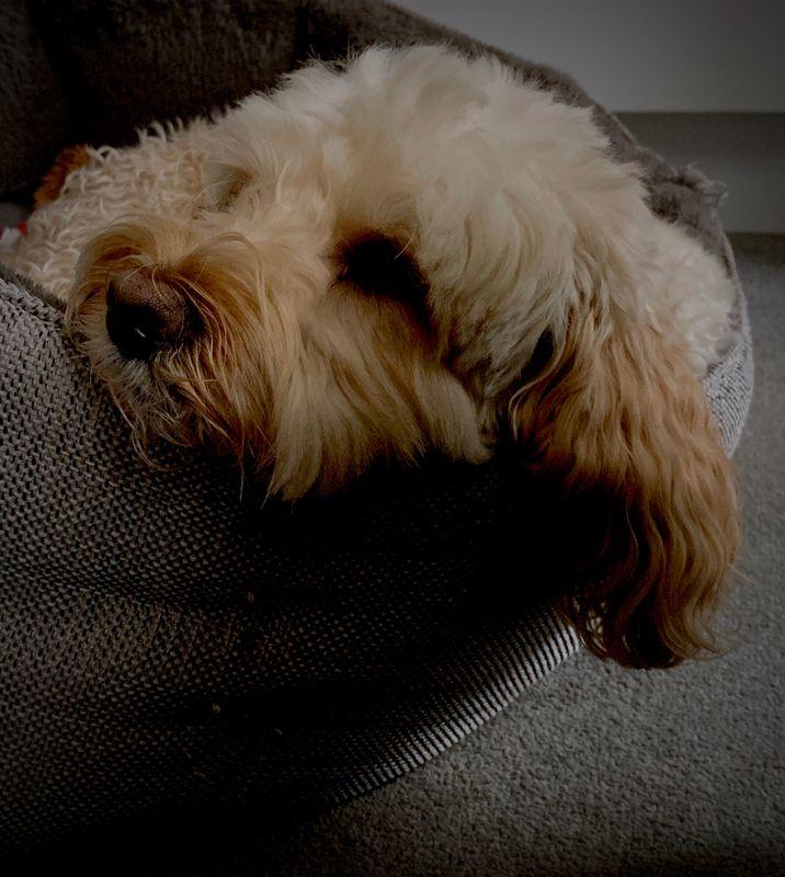 Bertie the cockapoo puppy taking a nap