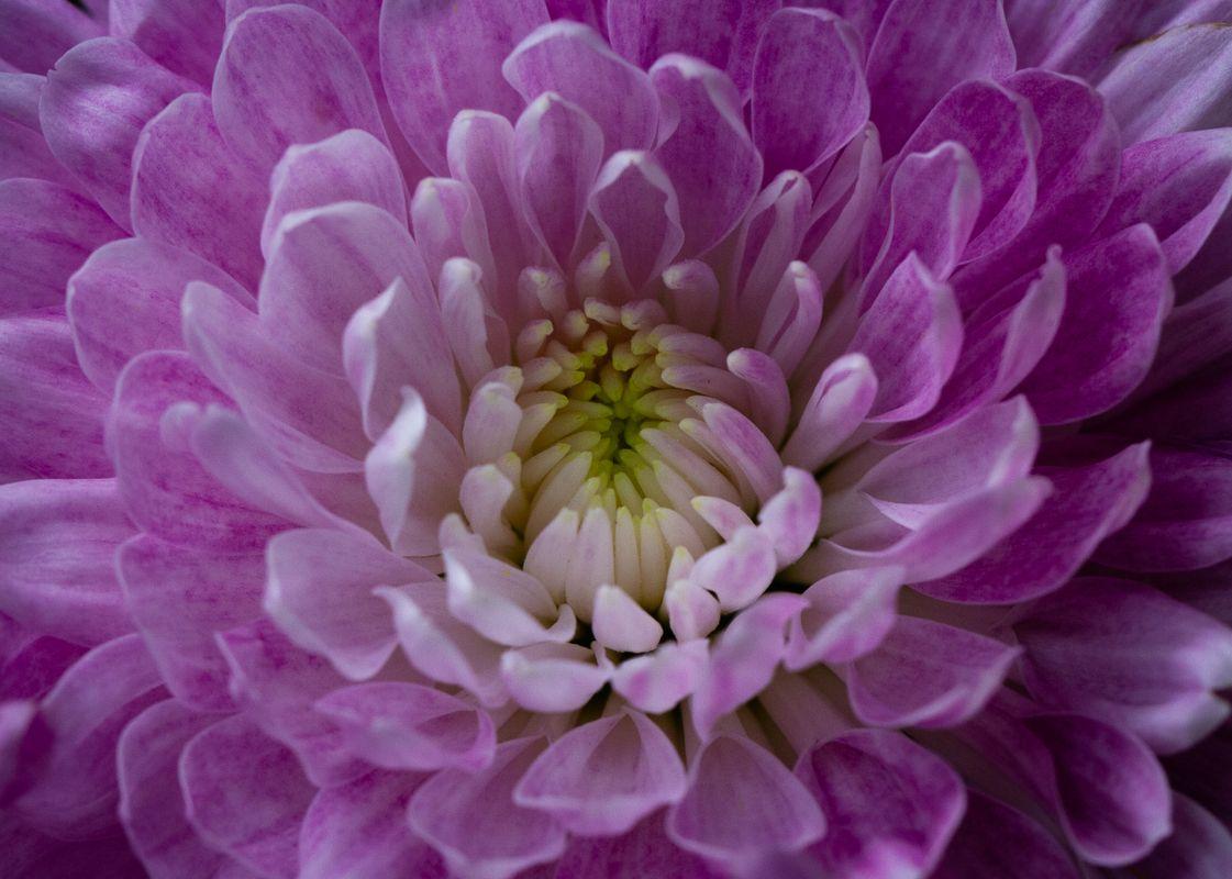 Close Up of a purple/pink Dahlia flower      6297