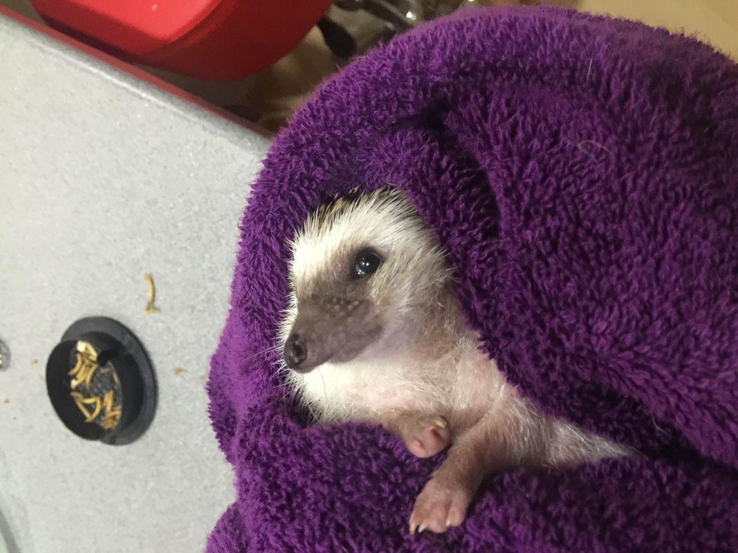 Trying to escape hedgehog